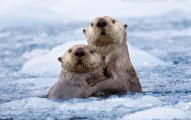 seaotters01