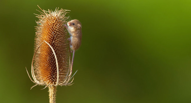 wild-mouse-photography-25