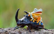 frog-riding-beetle-hendy-mp-6