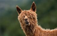 alpaca-hairstyles-10
