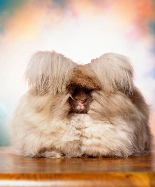 Andres-Serrano-Angora-rabbits-1-1