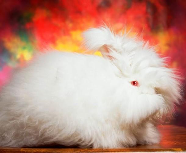 Andres-Serrano-Angora-rabbits-4-1