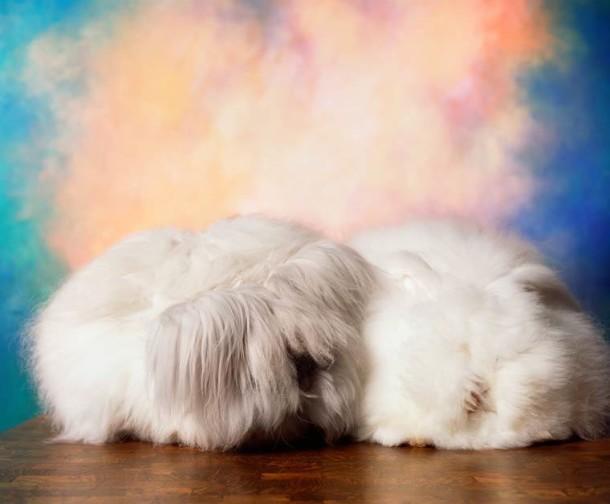 Andres-Serrano-Angora-rabbits-5-1