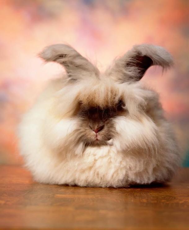 Andres-Serrano-Angora-rabbits-8-1