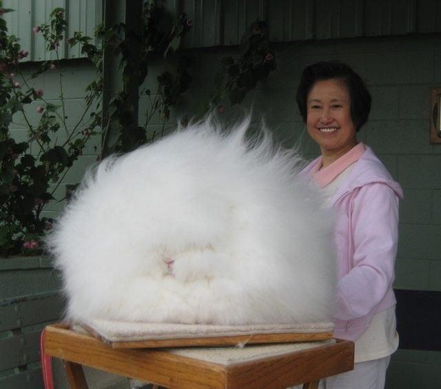 Angora Rabbits That Really Really Need A Haircut