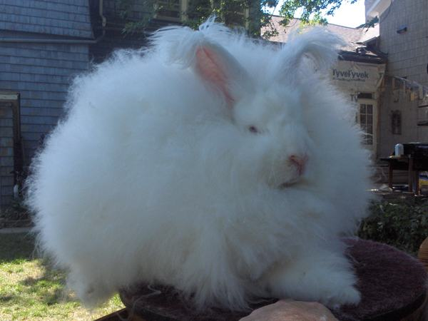 Joey_Giant_Angora_Buck-1